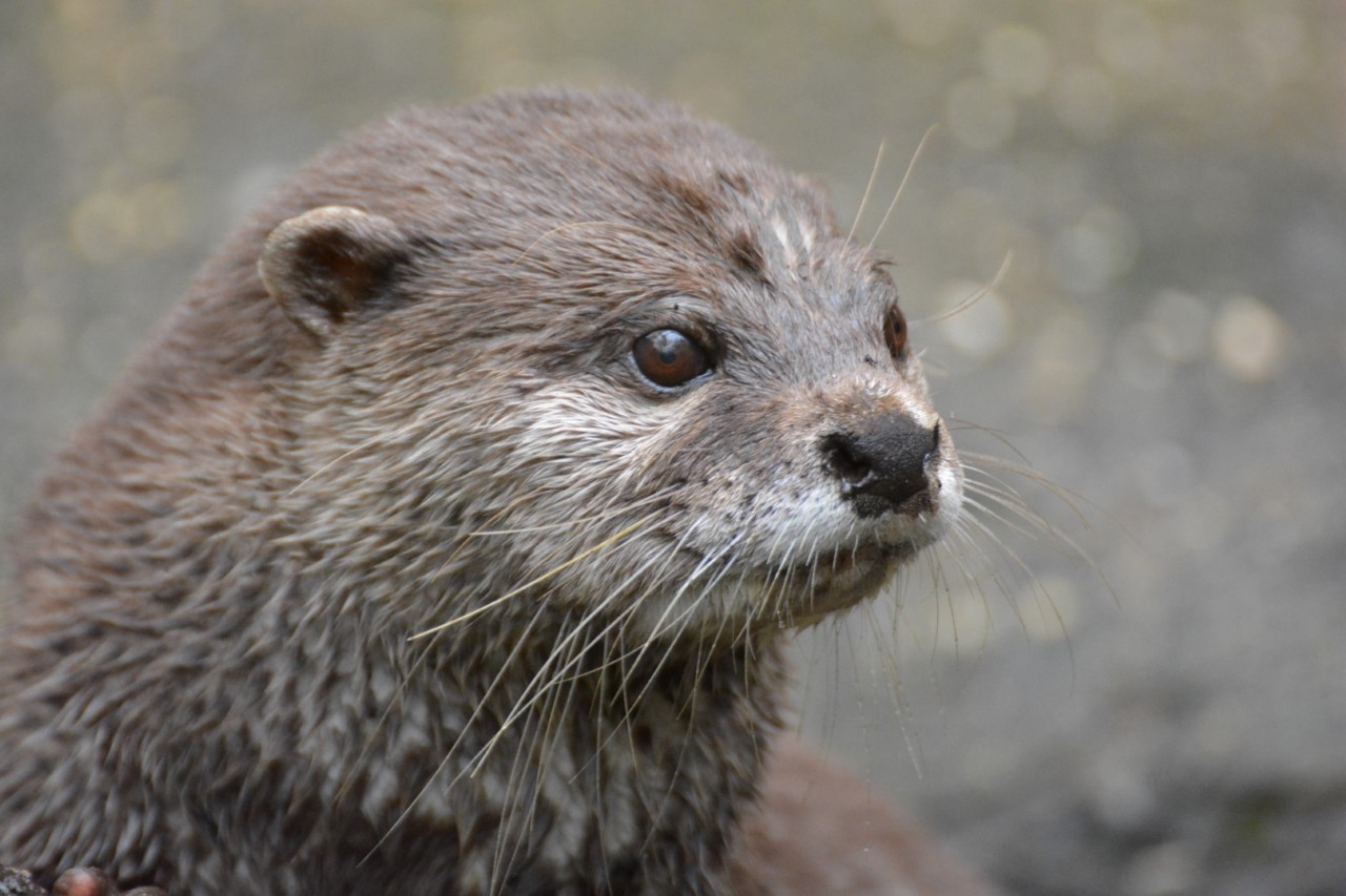 A Close Up Otter At A National Park